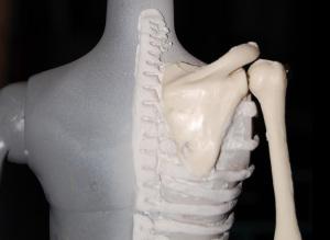 back ribcage
